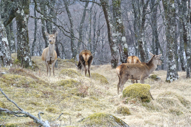 Deer in the woodland
