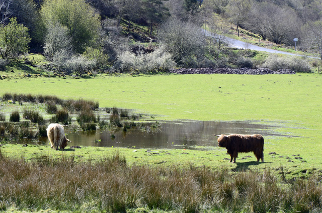 Highland cows on the farm