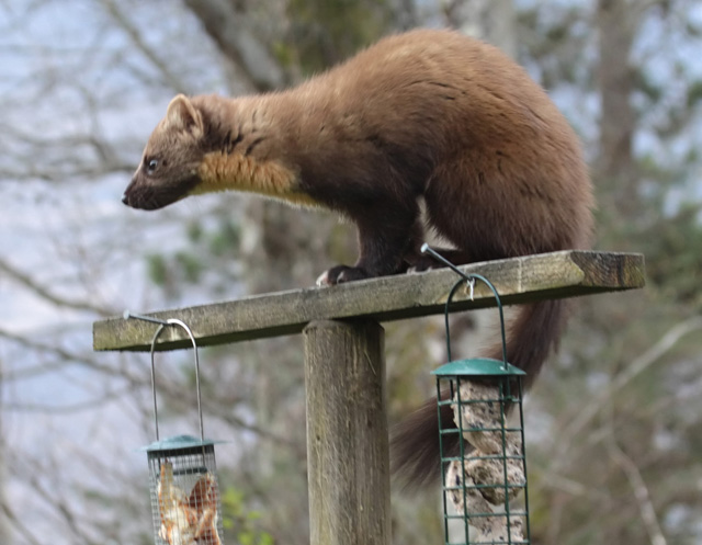 Pine Martin feeding in the garden